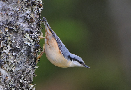 Eurasian Nuthatch  looking for food. Stock Photo