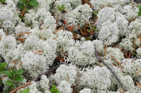 reindeer lichen, reindeer moss, Banco de Imagens