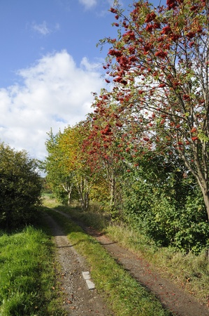 A hiking trail in the fall, with rowan.Rowan bush with ripe fruit.