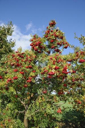 A hiking trail in the fall, with rowan.Rowan bush with ripe fruit.