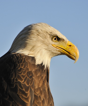 Portrait of an american bald eagle. Stock Photo