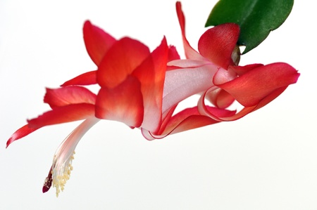 Christmas cactus flower close-up, focus on stamen . photo