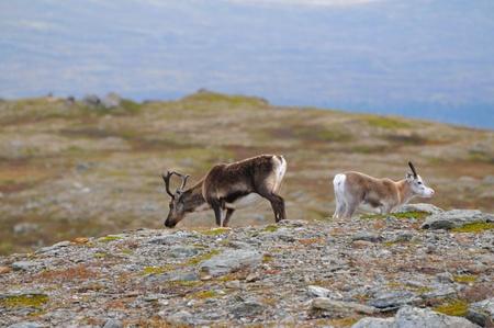 education in sweden: Wild reindeer on top of a mountain in Scandinavia  Stock Photo