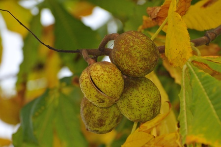 aesculus hippocastanum: Conkers on Horse Chestnut Tree - Aesculus hippocastanum