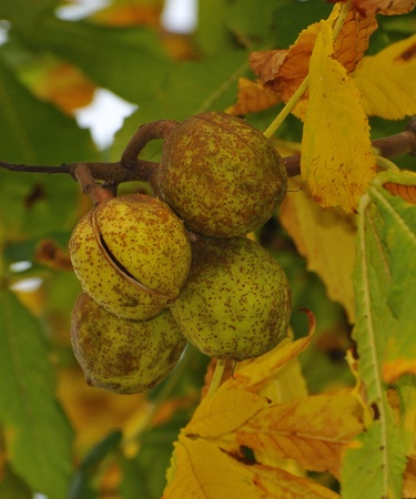 Conkers on Horse Chestnut Tree - Aesculus hippocastanum  photo