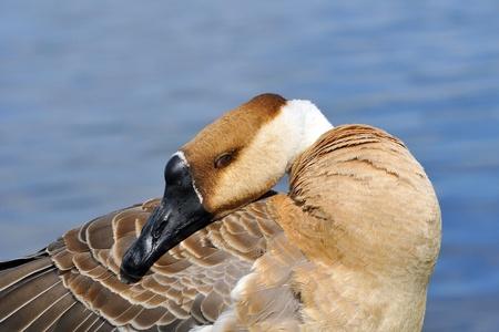 preening: Swan goose in preening.