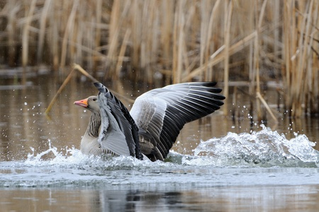 anser anser, greylag goose  at the lake photo