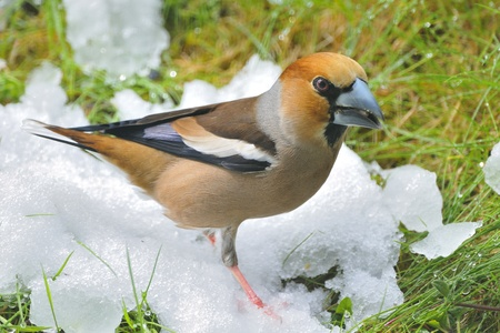 an adult of hawfinch on a branch   Coccothraustes coccothraustes  photo