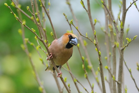 birdlife: an adult of hawfinch on a branch   Coccothraustes coccothraustes