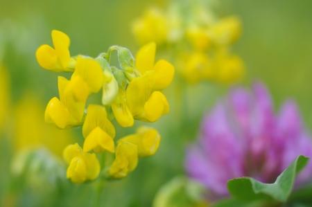 Lotus corniculatus and Trifolium pratense Stock Photo - 13929261