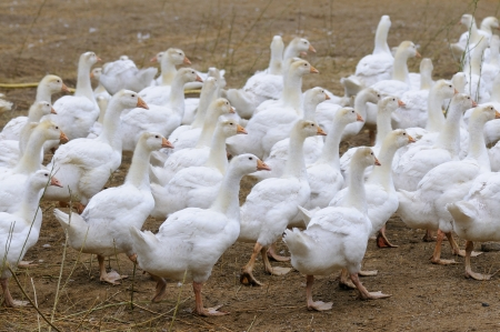 white goose on rural farm photo