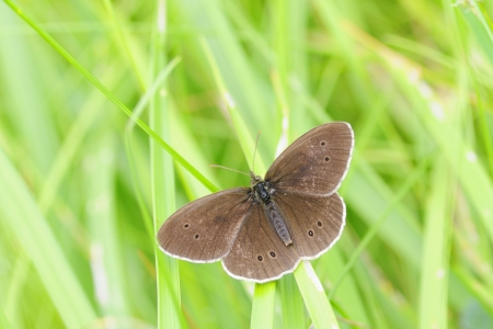 Aphantopus hyperantus , Ringlet photo