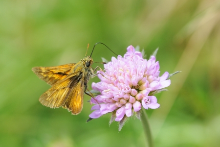 Small Skipper, Ochlodes sylvanus on a flower  photo