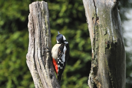Great Spotted Woodpecker on a tree   Dendrocopos major   photo