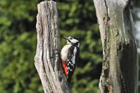 dendrocopos: Great Spotted Woodpecker on a tree   Dendrocopos major   Stock Photo