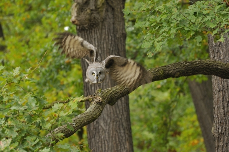 The Great Grey Owl or norge Owl, Strix nebulosa Stock Photo - 16269499