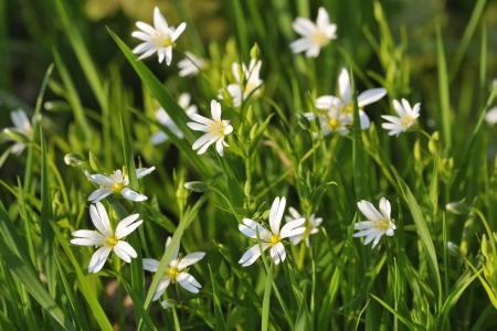 chickweed: Chickweed flowers  Stellaria holostea