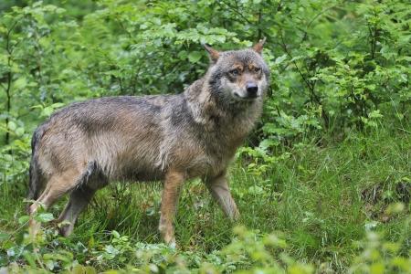 captive animal: Wolf  Canis lupus  Looks Left - captive animal
