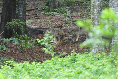 Wolves with prey in the forest Stock Photo - 16913929