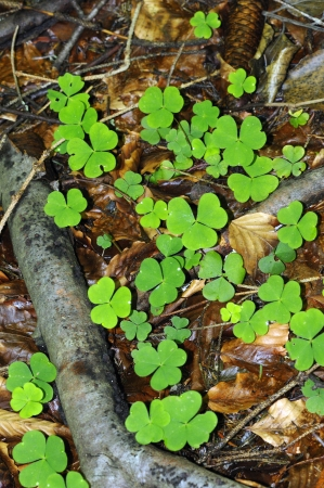 Clover in the forest photo