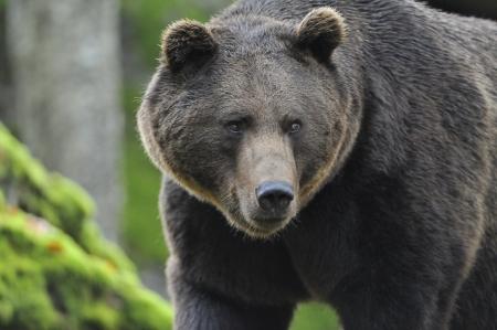 ursus: Brown Bear in the autumn