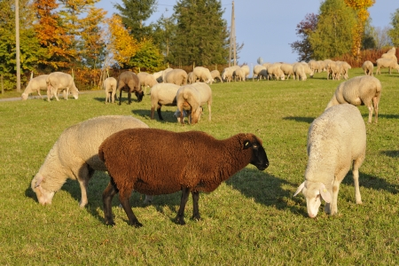 Merino sheep on the pasture  Flock of sheep   photo