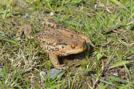 Common toad crossing the road