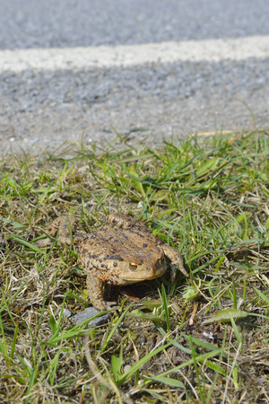 Common toad crossing the road  photo