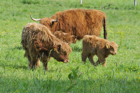 Newborn highland cattle with his family in a meadow  photo