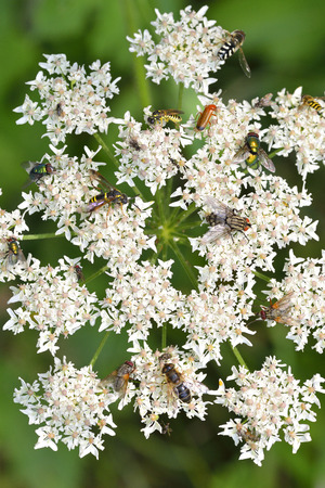 cantharis: Common hogweed with many insects. Stock Photo