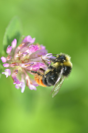 red clover: Red clover flower with bumble bee