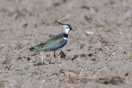 lapwing: Northern lapwing on a field