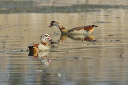 aegyptiaca: A pair Egyptian goose (Alopochen aegyptiaca) on a lake. Stock Photo