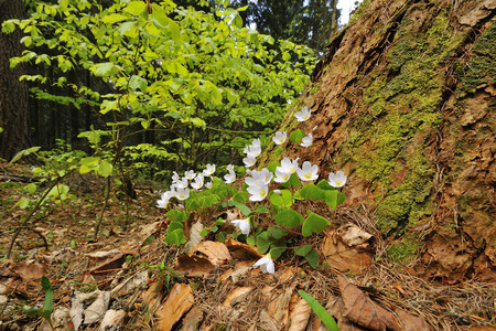 oxalidaceae: Sorrel with white flowers on the forest floor.