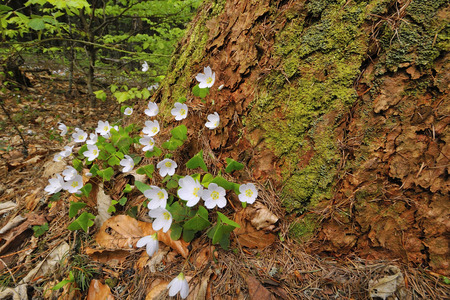 oxalis: Sorrel with white flowers on the forest floor.