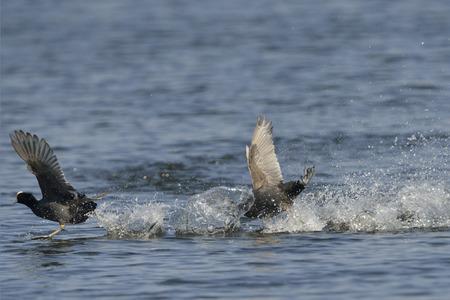coot: Black Coot Fulica atra Eurasian Coot.