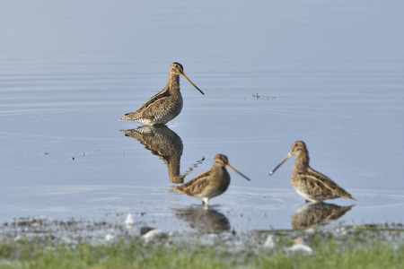 Common snipe on a lake