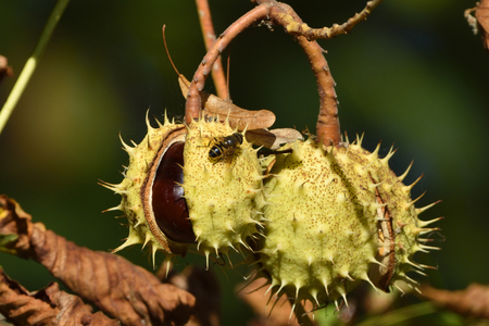 horse chestnut seed: Ripe chestnuts tree Stock Photo