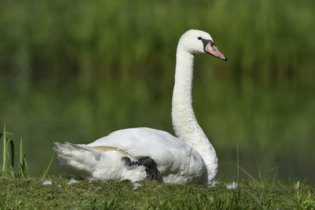 Mute Swan rest on the lake