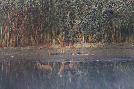 Roe deer on a lake