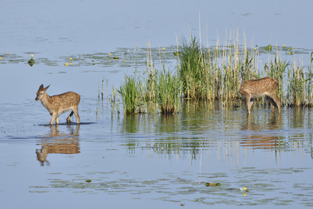Red deer with calf in a lake Stock Photo