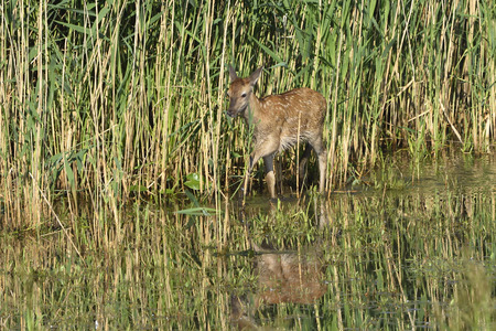 red deer: Red deer with calf in a lake Stock Photo