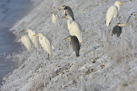 Great egret and heron in winter Grey