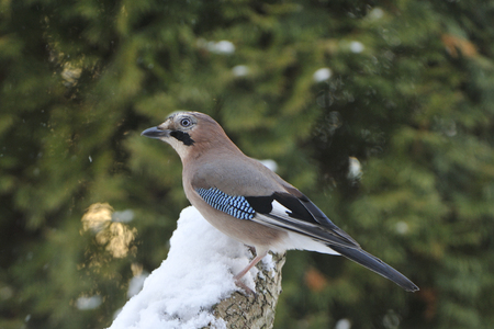Eurasian jay looking for food in winter Stock Photo