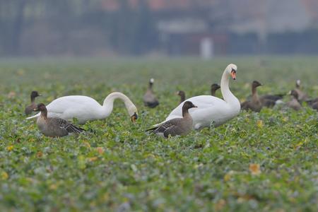 anseriformes: Mute swan in winter on a field