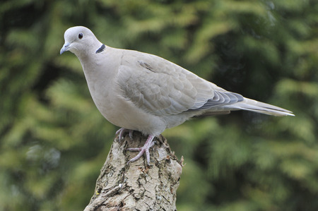 eurasian: Eurasian collared dove looking for food