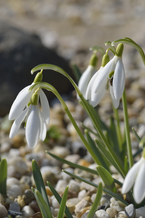 galanthus: Galanthus in the spring