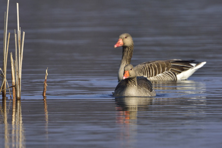 greylag: Greylag geese in the spring Stock Photo