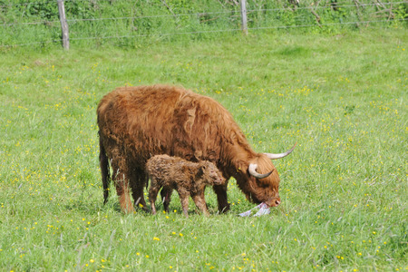 A newborn highland cattle on a meadow. Stock Photo