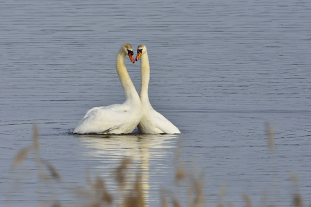 mute: Mute swans in mating